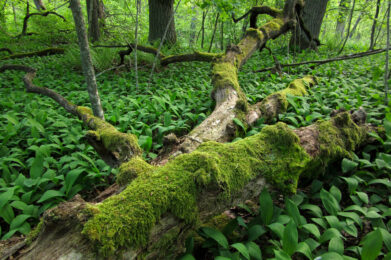 Maapuu / Kuva: E. Kosonen