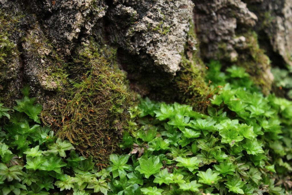 Lehtoruusukesammal (Rhodobryum roseum) / Kuva: J. Lampinen