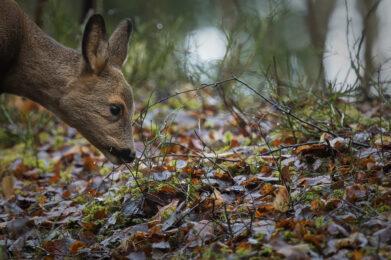 Metsäkauris / Kuva: A. Kuusela