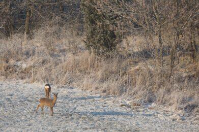 Metsäkauriit / Kuva: A. Kuusela
