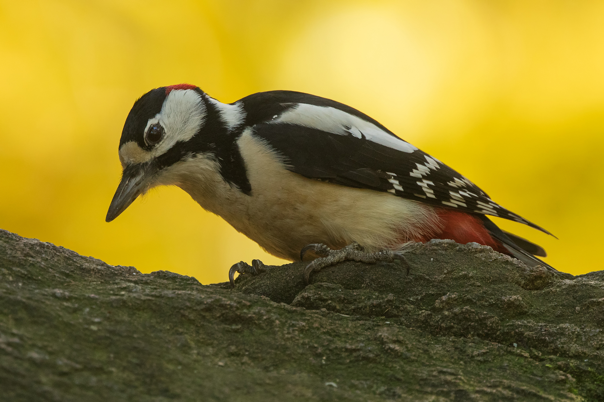 Great spotted woodpecker / Photo: A. Kuusela