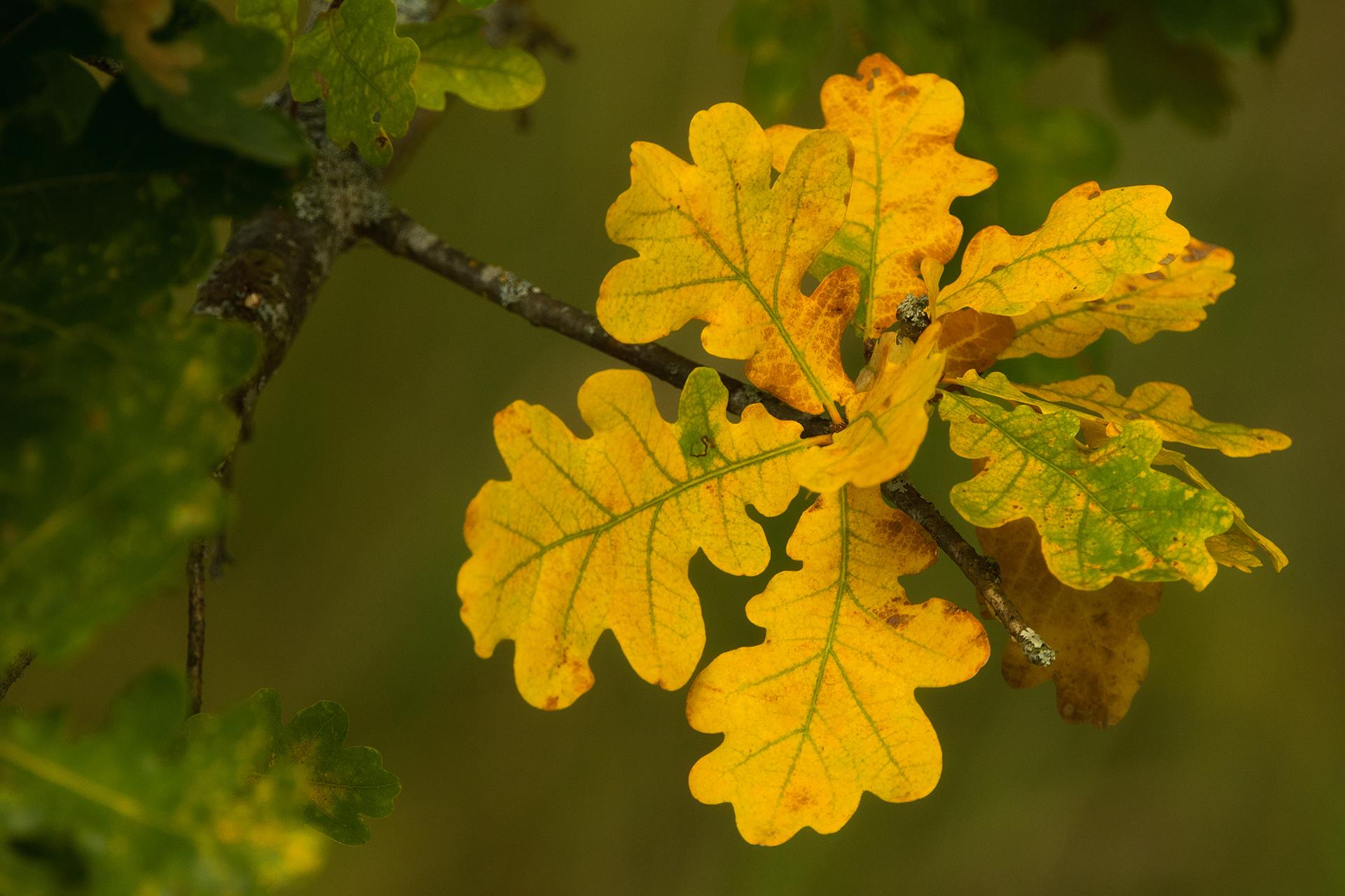 English oak leaves / Photo: A. Kuusela
