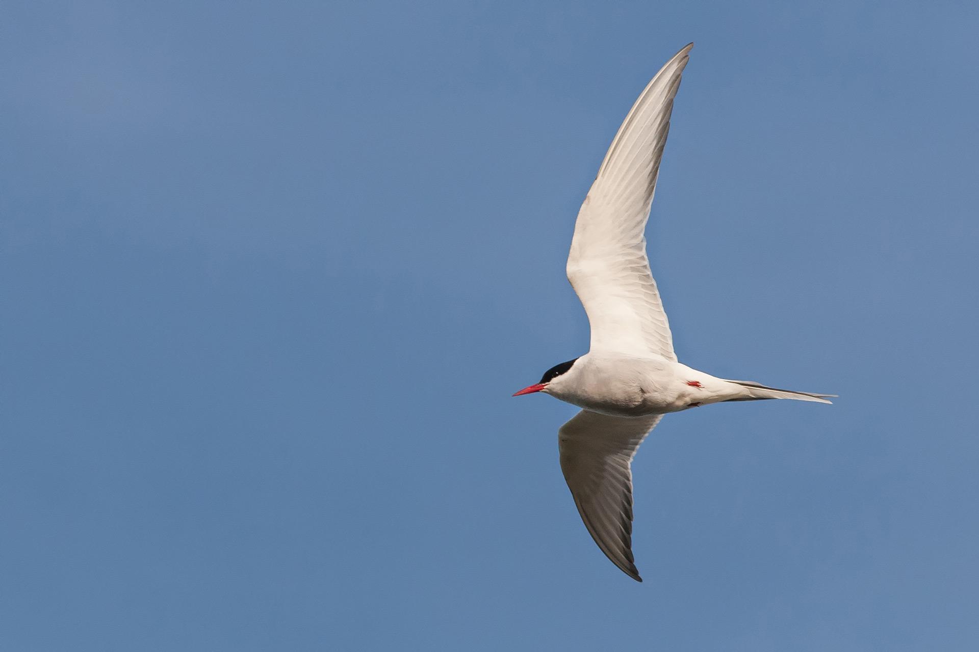 Arctic tern / Photo: A. Kuusela