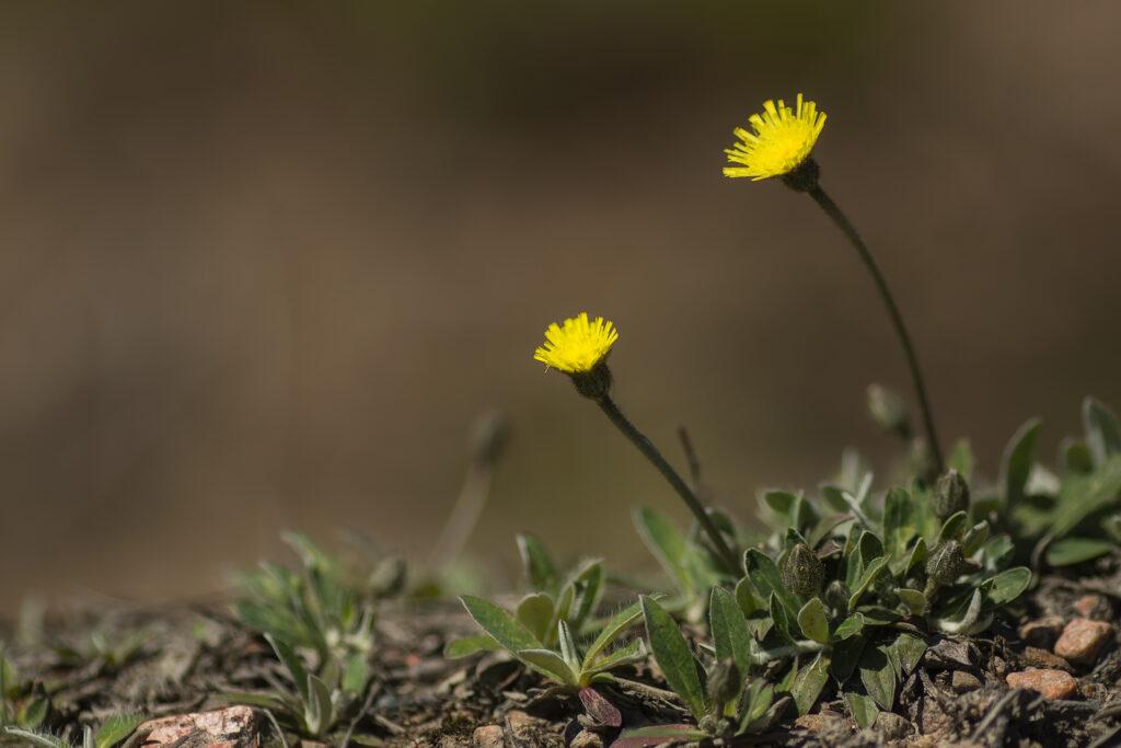 Huopakeltano (Hieracium pilosella) / Kuva: A. Kuusela