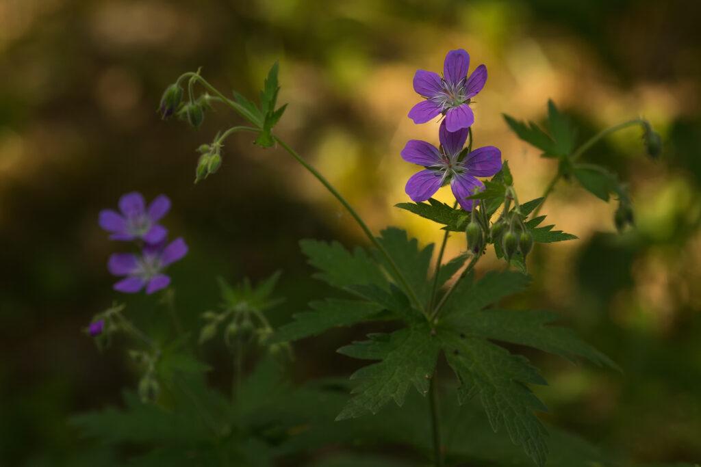 Metsäkurjenpolvi (Geranium sylvaticum) / Kuva: A. Kuusela