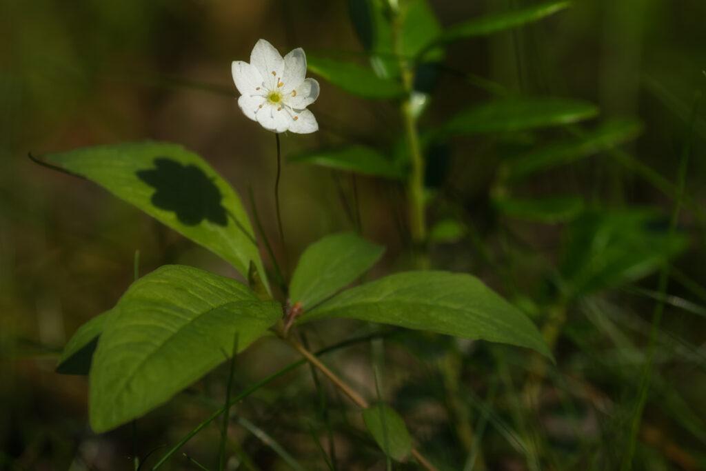 Metsätähti (Trientalis europaea) / Kuva: A. Kuusela