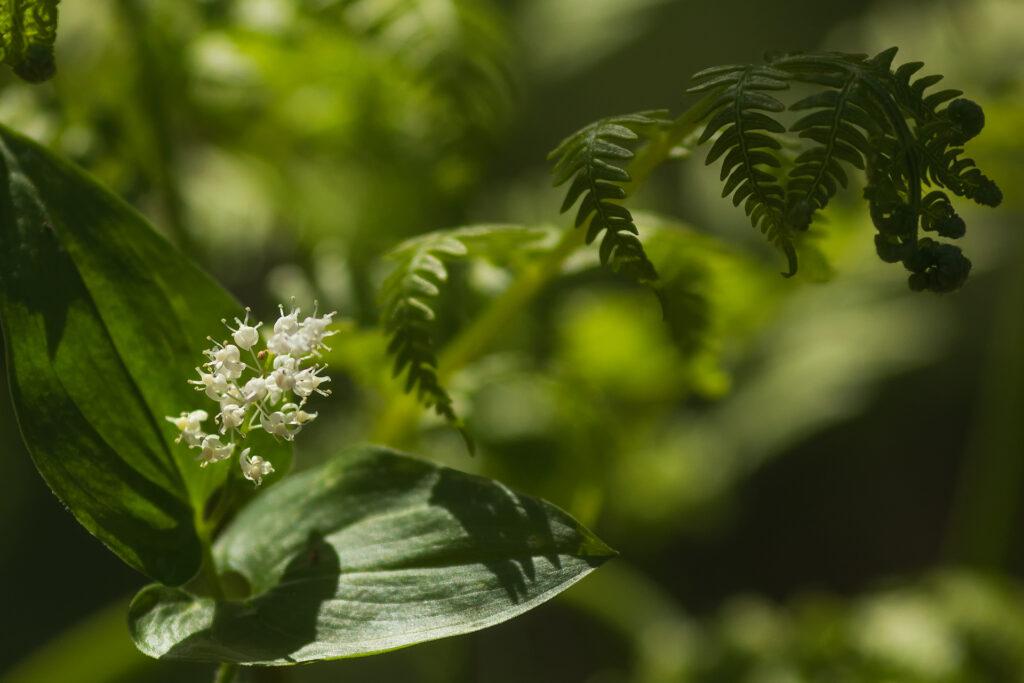 Oravanmarja (Maianthemum bifolium) / Kuva: A. Kuusela