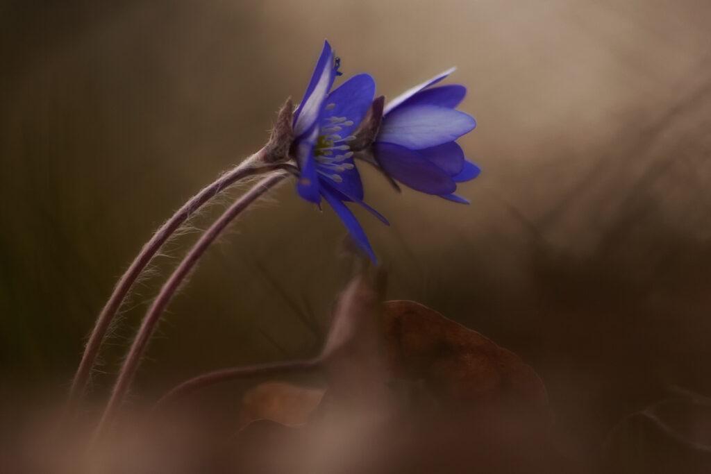 Sinivuokko (Hepatica nobilis) / Kuva: A. Kuusela