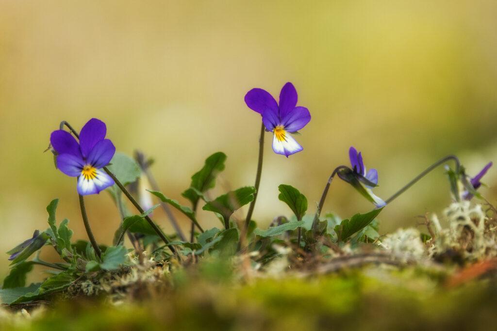 Keto-orvokki (Viola tricolor) / Kuva: A. Kuusela
