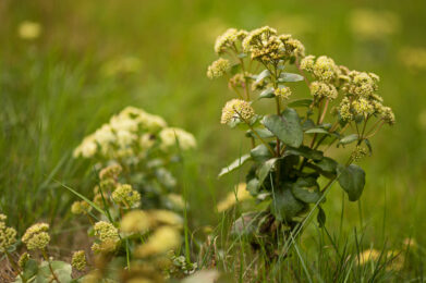 Isomaksaruoho (Hylotelephium telephium) / Kuva: A. Kuusela