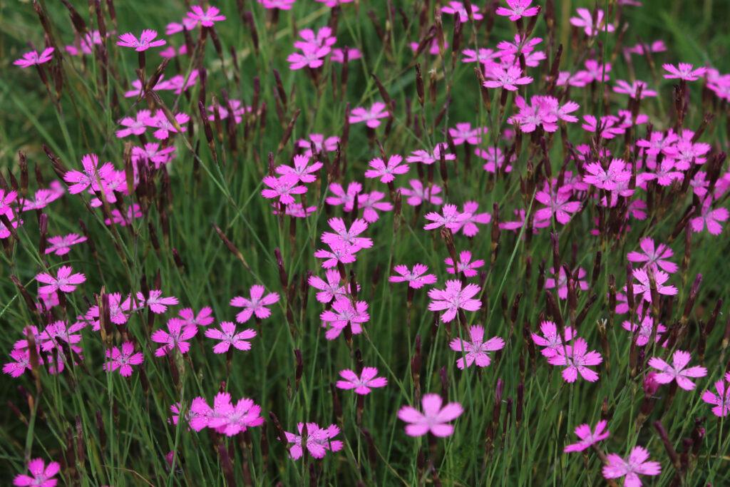 Ketoneilikka (Dianthus deltoides) / Kuva: J. Lampinen
